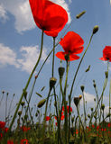 Landscape with Poppies. Stock Image