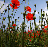 Landscape with Poppies. Royalty Free Stock Photos