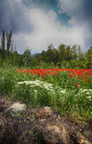 Landscape with Poppies. Royalty Free Stock Photo