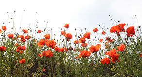 Landscape with Poppies. Royalty Free Stock Images