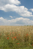 Landscape with poppies and wheat. Rural landscape with poppies, wheat and clouds Stock Images