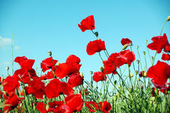 Landscape, poppy field Stock Photography
