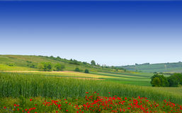 Landscape with a Poppy flower. Und Wheat field on a blue sky background Stock Images
