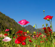 Landscape poppy on green field mountain background Royalty Free Stock Image