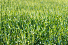 Landscape portrait of fresh barley Royalty Free Stock Photography