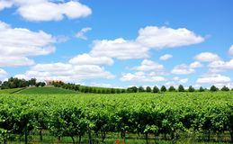 Landscape of portuguese  vineyard. Stock Photos