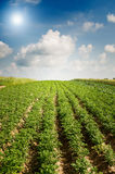 Landscape of potato plantation. Royalty Free Stock Photo