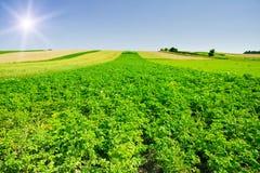 Landscape of potato plantation. Stock Images