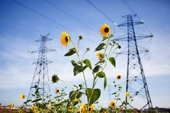 Power Line at the Blue Sky with Yellow Flower Stock Photo