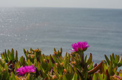 Close up of a coastal ground cover plant blooming in springtime Royalty Free Stock Photos