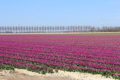 Reclaimed land with flower fields and windturbines in the Netherlands Stock Images