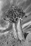 Landscape of a Quiver Tree with blue sky and thin clouds in dry Royalty Free Stock Image