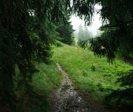 Landscape rainy day in green mountain spruce forest Royalty Free Stock Image