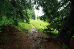 Landscape rainy day in green mountain spruce forest Stock Image