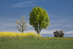 Landscape with rape field. Tree an a rock in the sun Stock Images