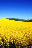 Landscape rapeseed field Royalty Free Stock Photo