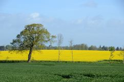 Landscape with rapeseed field royalty free stock images