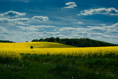Landscape with rapeseed field. Royalty Free Stock Photos