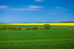 Landscape of rapeseed field at sunny day Stock Photo