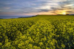 Landscape of rapeseed field in sunset Royalty Free Stock Photos