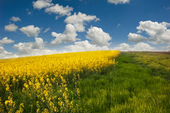 Landscape with rapeseed flowers Stock Image