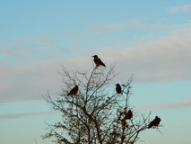 Landscape. Ravens on tree. Royalty Free Stock Image
