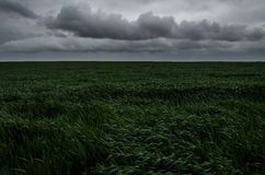 Landscape of raw wheat field. Whit storm clouds waiting to rain Stock Images