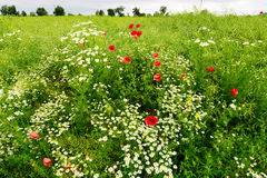 Landscape with red corn poppy papaver and chamomile flowers growing on colorful meadow in countryside. Spring field in blossom. Stegna, Pomerania, Poland Royalty Free Stock Photography