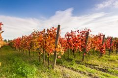 Landscape with red leaves autumn vineyards. Royalty Free Stock Images