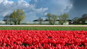 Landscape with Red Tulips and Clouds on Blue Sky in Netherlands Royalty Free Stock Photo