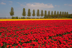 Landscape with red and yellow tulips Stock Photos
