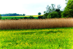 Landscape with reed field as a bird protection. Landscape with reed field for protection of brooding birds royalty free stock photos