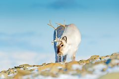 Landscape with reindeer. Winter Svalbard deer on rocky mountain in Svalbard. Wildlife scene from nature. Norway. Wild Reindeer, R. Angifer tarandus, with massive stock photography
