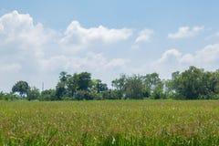 Landscape Rice feild on blue sky Stock Image