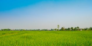 landscape rice feild at the north of Thailand stock photo