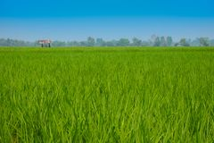 Landscape rice feild at the north of Thailand stock images