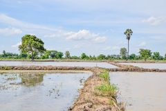 Landscape of rice field in the afternoon, Beautiful nature in countryside at Thailand.Thai agriculture and Thai rice fields. Asia, background, barn, clouds royalty free stock image