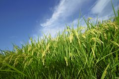 Landscape of rice field with blue sky Royalty Free Stock Photos