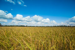 Landscape of rice field Royalty Free Stock Photography
