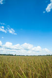 Landscape of rice field Stock Photos