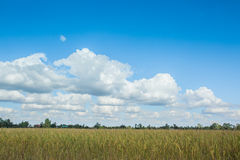 Landscape of rice field Royalty Free Stock Photos