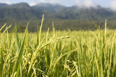 Landscape of rice field in chiang mai Stock Images
