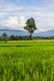 Landscape of rice field in chiang mai, Thailand Royalty Free Stock Photos