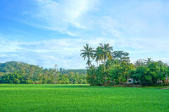 Landscape of rice field. With coconut trees stock photos