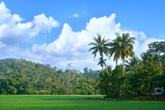 Landscape of rice field. With coconut trees stock photography