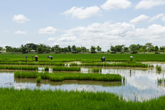 Landscape rice field Royalty Free Stock Photo