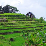Landscape with Rice Field and Jungle, Bali Royalty Free Stock Images