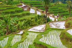 Landscape with Rice Field and Jungle, Bali Stock Photography