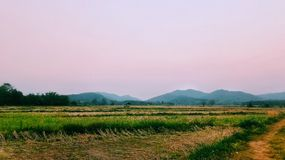 Landscape of rice field. Landscape of rice field in the morning stock images