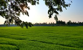 Landscape of rice field in the morning with tree branch in foreground Royalty Free Stock Image
